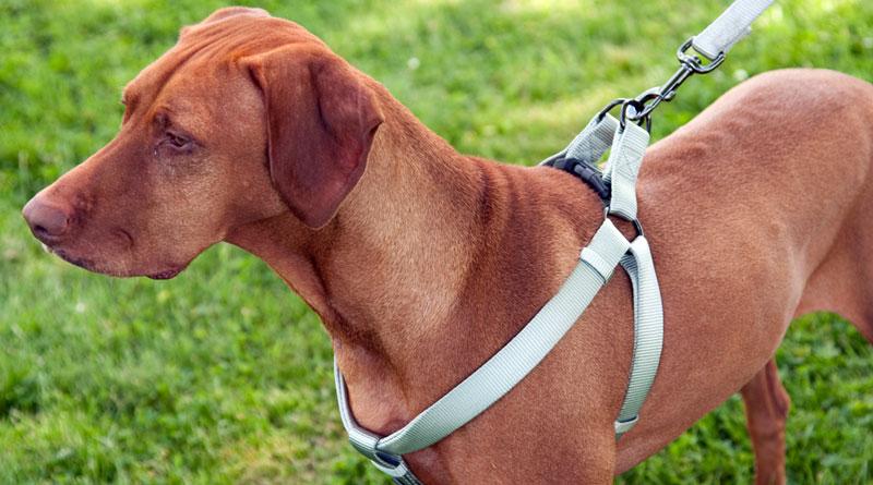 Wat zijn de voordelen van een hondentuig?