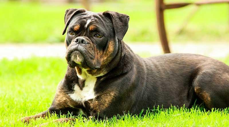 Rasvoeding voor honden; Wat zijn de voordelen?